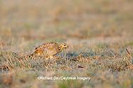 00842-03719 Greater Prairie-Chicken (Tympanuchus cupido)  female on lek Prairie Ridge State Natural Area Jasper Co, IL