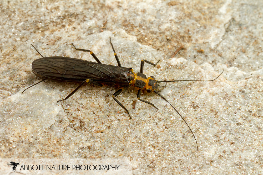 Clio Stripetail Stonefly (Clioperla clio)<br /> United States: Alabama: Tuscaloosa Co.<br /> Tulip Tree Springs off Echola Rd.; Elrod<br /> 23-Feb-2017<br /> J.C. Abbott #2894