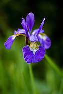 A Siberian Iris (Iris siberica) blooms in the summer.