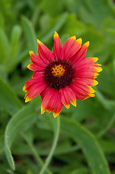 Gaillardia pulchella, Pelican Island National Wildlife Refuge, Vero Beach, Florida, US