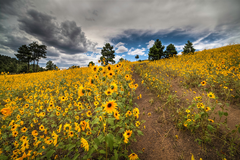 A field of sunflowers stretching to the horizon in Sunset Crater National Monument