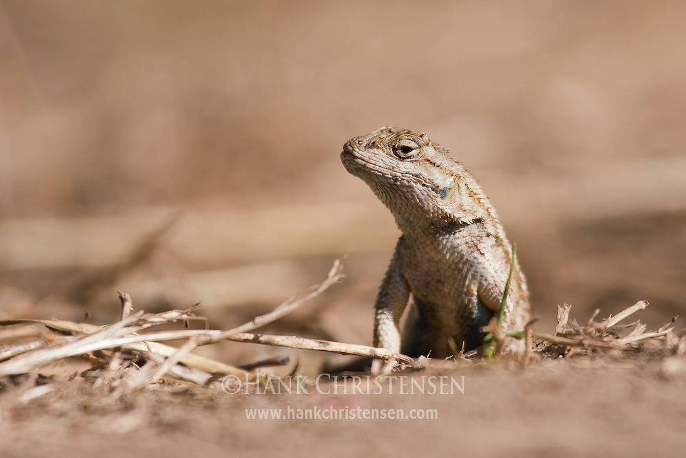 A western fence lizard bakes in the hot sun
