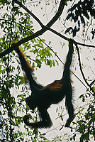 A female Bornean Orangutan (Pongo pygmaeus) hangs from crossing lianas.