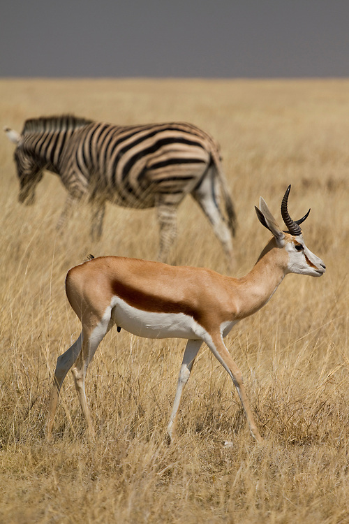 A zebra and a srpingbok grazing at Etosha National Park, in Namibia, Africa.