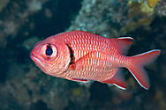 Soldierfish-Poisson soldat (Myripristis murdjan), indian ocean, South Africa.
