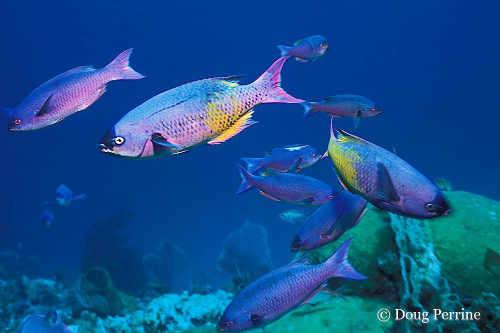 creole wrasse, Clepticus parrae, The Steps, St. Vincent or Saint Vincent, West Indies ( Caribbean Sea )