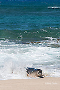 Hawaiian monk seal, Monachus schauinslandi, Critically Endangered endemic species, coming ashore through surf on beach at west end of Molokai, Hawaii ( Central Pacific Ocean )