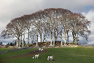 Fagus sylvatica (common beech) on a knoll with sheep by the A714 on the outskirts of Newton Stewart.