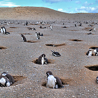 Los Pinguinos Natural Monument on Magdalena Island, Chile<br /> The colony of Magellanic penguins is a wildlife treasure of southern Chile. So in 1966 it was designated as the Los Pinguinos Natural Monument. The Corporación Nacional Forestal carefully manages the island to protect the penguins and their habitat in balance with welcoming tourists from October through March.