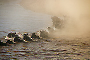 Annual migration of over one million white bearded (or brindled) wildebeest and 200,000 zebras at Serengeti National Park, Tanzania, The animals swim across a river