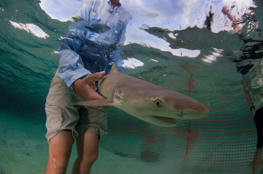 Researcher Ian Bouyoucos of the Cape Eleuthera Institute (CEI) releases a lemon shark pup into his temporary enclosure. One of the leading causes of shark mortality is as bycatch in longline fisheries. The team at the CEI are looking at physiological and behavioural responses to being caught with the hopes of establishing 'best practice' guidelines for releasing sharks from long lines.