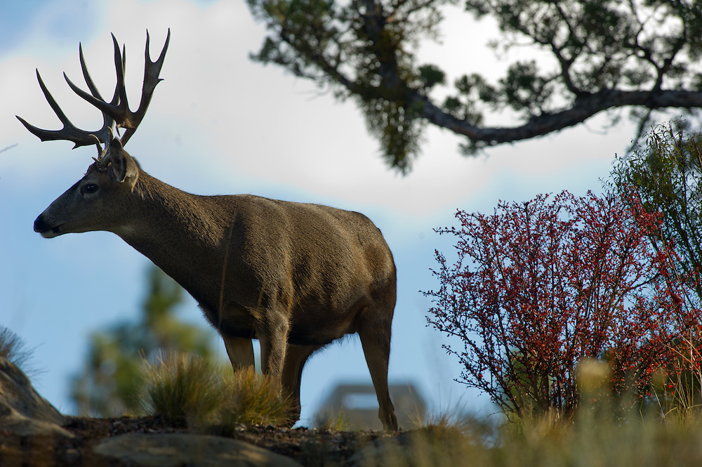 A mule deer smells the air while chasing a doe.