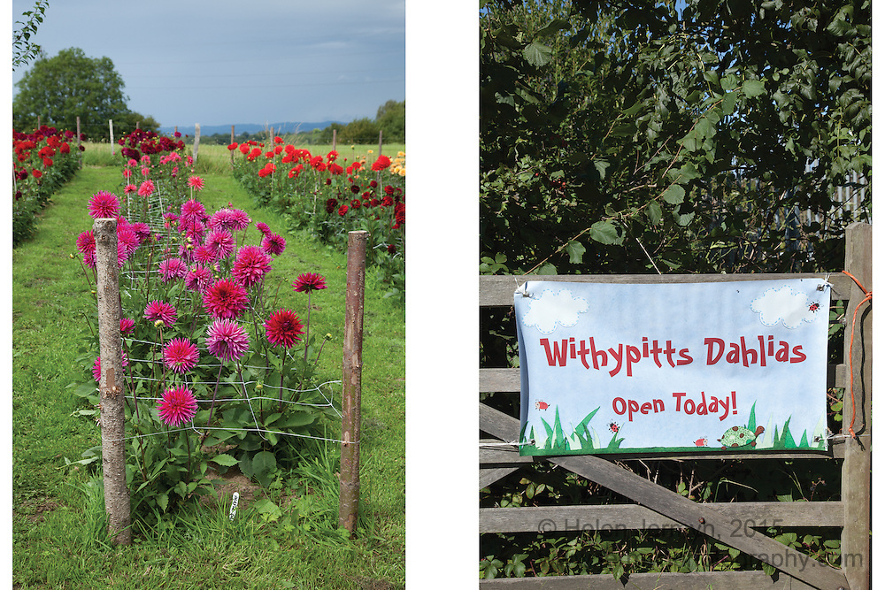 Withypitts Dahlia Farm, West Sussex