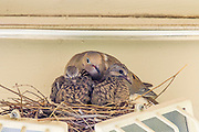 La Mesa, CA.  Mourning Dove (Zenaida macroura) Nesting on a Security Light
