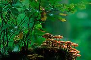 DEU, Germany, Brown Stew Fungus (lat. Kuehneromyces mutabilis) on a tree stump....DEU, Deutschland, Stockschwaemmchen (lat. Kuehneromyces mutabilis) auf einem alten Baumstamm .... ..