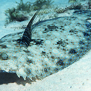 Peacock Flounder inhabit sand, rubble and areas mixed with sea grasses, often near patch reefs in Tropical West Atlantic; picture taken Grand Cayman.