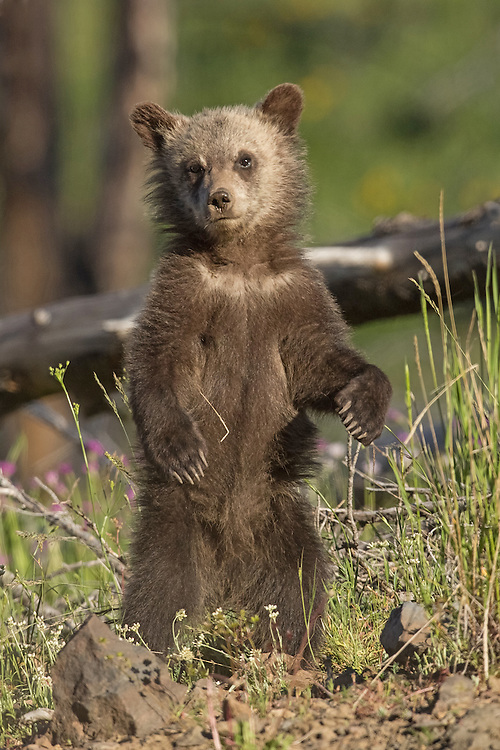 Weighing only a pound at birth, grizzly bear cubs grow rapidly while inside the den.  When they finally step out into the world in spring, they may weigh more than ten pounds.
