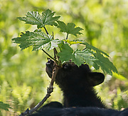 Black Bear (Ursus americanus) cub curiosity over an insect, while using the support of her mom's body, Arctic Valley.
