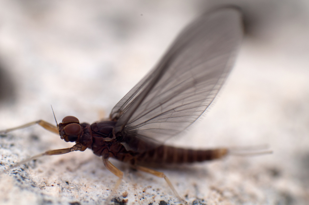 A mayfly dries its wings on a rock shortly after emerging.