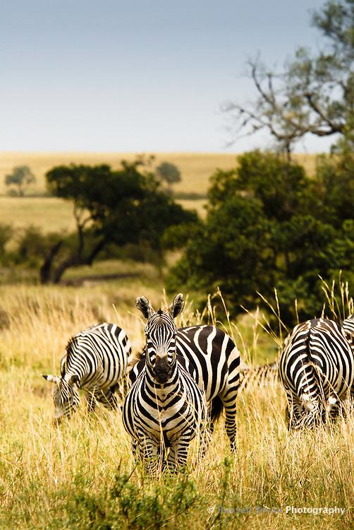A Burchell's Zebra on watch in the Masai Mara National Park, Kenya