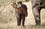Elephant calf feeding with its mother  in Serengeti, Tanzania