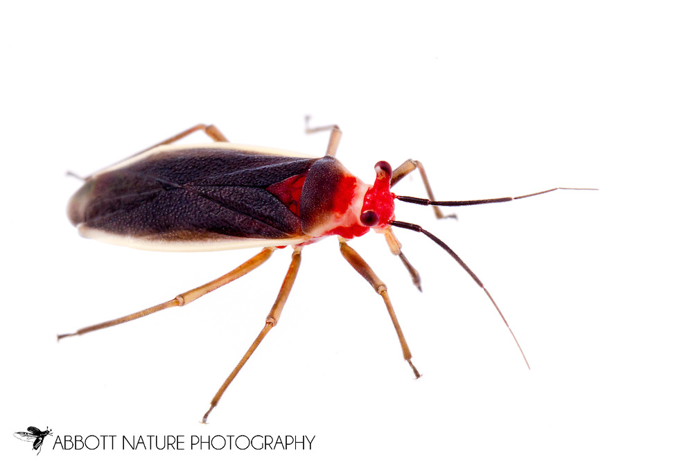 Plant Bug (Hesperolabops gelastops)<br /> TEXAS: Williamson Co.<br /> Cedar Park<br /> 14-May-2015<br /> J.C. Abbott &amp; K.K. Abbott