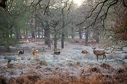 © Licensed to London News Pictures. 05/01/2017. London, UK. Deer seen grazing in woodland on a frozen landscape in Richmond Park, London as cold weather continues across the UK. Photo credit: Ben Cawthra/LNP