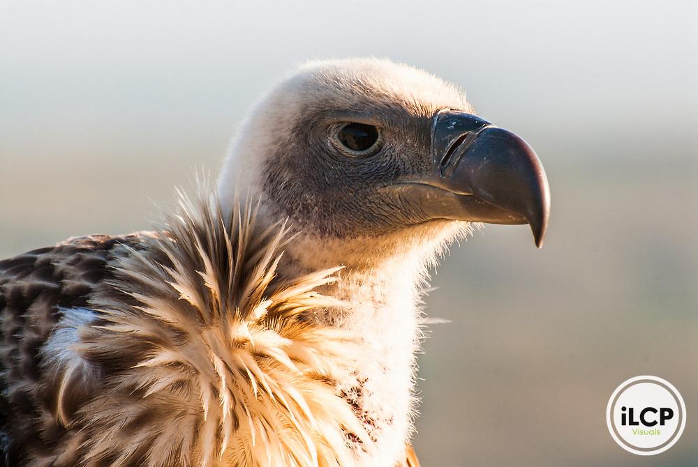 Cape Vulture, De Hoop Nature Reserve, South Africa