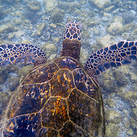 Tranquil Green Sea Turtle at Hapuna Beach on the Kohala Coast of the Big Island, Hawaii.
