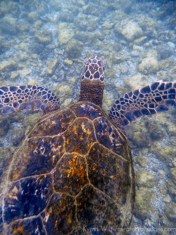 Tranquil Green Sea Turtle at Hapuna Beach on the Kohala Coast of the Big Island, Hawaii.