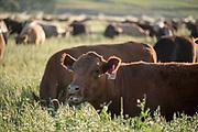 Cattle in Oregon's Wallowa Valley.