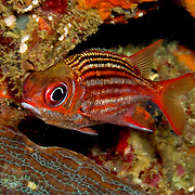 Dusky Squirrelfish inhabit shallow rocky coastlines and reef crests hiding in small recesses in the Tropical West Atlantic; picture taken Panama near San Blas Islands.