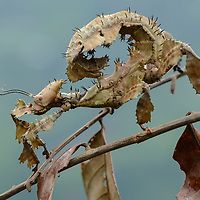 Giant Prickly Stick Insect (Extatosoma popa), from the rainforests of New Guinea. Papua, Indonesia.