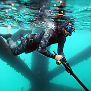"SUMMARY - ""Blood in the Water"" Spearfishing is a type of hunting done with underwater guns, harpoons and strong line. Freediving is a type of breath-hold diving in which divers descend for the duration of one breath, without any SCUBA tanks or any breathing apparatus. The best freedivers can hold their breath for over five minutes and go deeper than 100 feet. The combination of both these skills makes a high adrenaline sport done by only a few brave souls. This is an essay about a group of freedivers in North Carolina...THIS IMAGE - Chris Brooks prepares for a dive with a loaded and ready speargun while trying to avoid jellyfish floating in the water around him.."