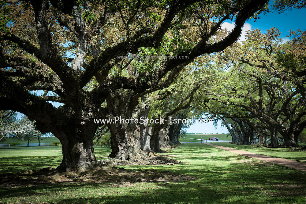 Ancient oak trees at Oak Alley Plantation, Vacherie, Louisiana, USA