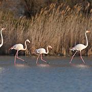 Flamingos walking in water, everning walk