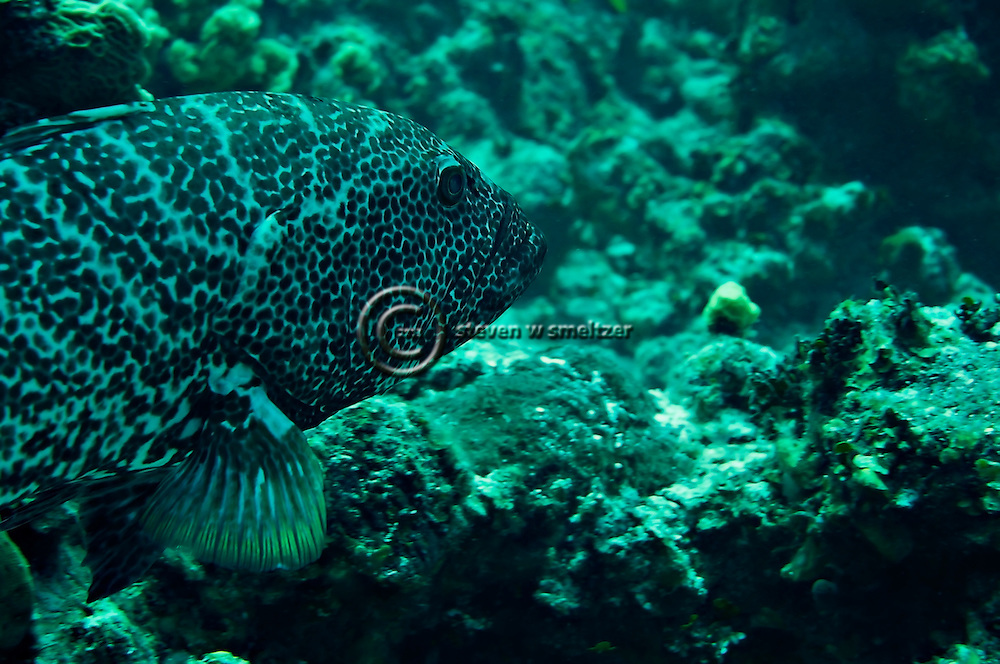 Tiger Grouper, Mycteroperca tigris, Pictures of fish, Grand Cayman