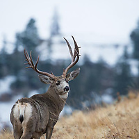 trophy mule deer buck on ridge in grass mountain habitat forest trees