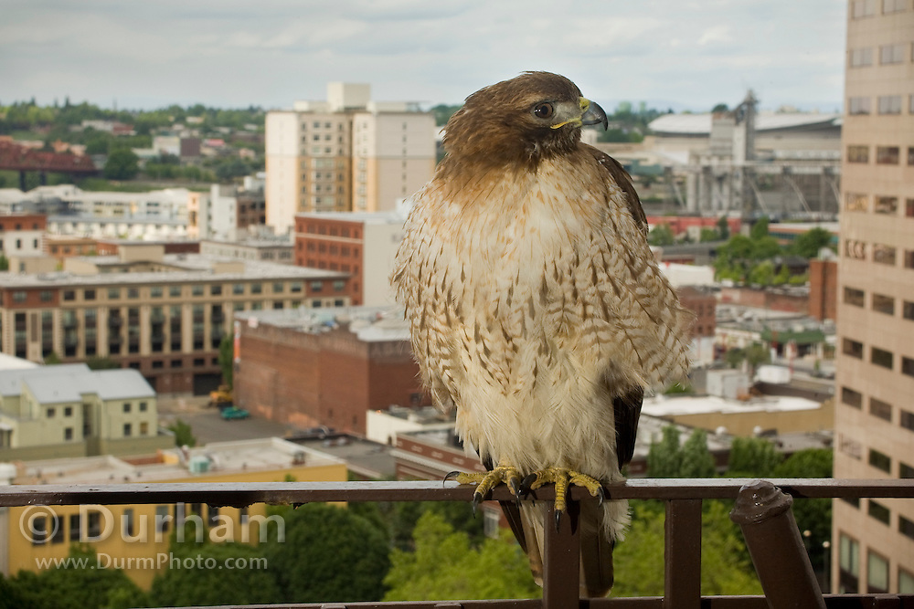 An adult red tailed hawk (Buteo jamaicensis) roosting on a fire escape, in downtown Portland, Oregon.