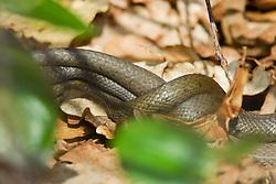 Ringslang, Natrix natrix