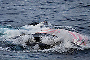 Humpback whale lunge feeding on krill in the Southern Ocean