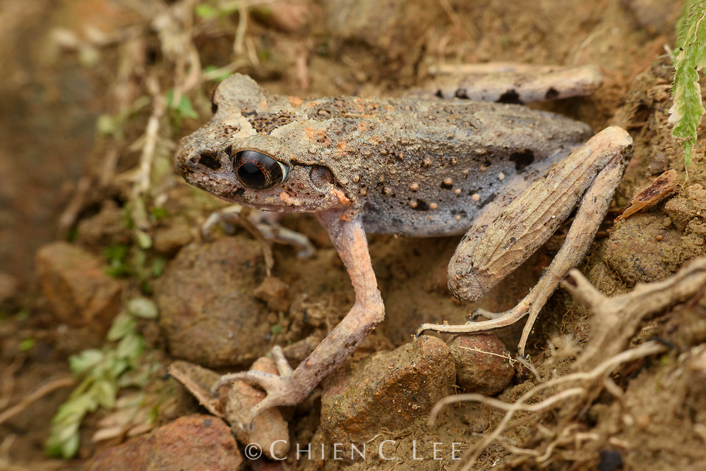 Dring's Slender Litter Frog (Leptolalax dringi) is endemic to the rainforests of northern Borneo.