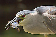 Black-crowned Night-heron photos