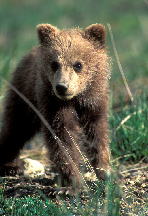 USA, Alaska, Denali National Park, Grizzly Bear cub (Ursus arctos) in alpine meadow near Highway Pass