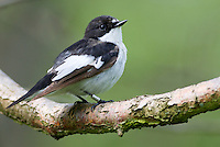 Male Pied Flycatcer perched on a tree branch in Derbyshire, England May