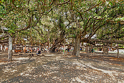 Lahaina's famed banyan treen dominates a downtown park.  The heart of this massive tree is in the center of the image and its spread includes all the other trunks and limbs.  It is considered to be the world's largest banyan.