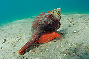 A Horse conch, Pleuroploca gigantea, crawls over the sandy bottom of the Lake Worth Lagoon, Palm Beach County, FL.