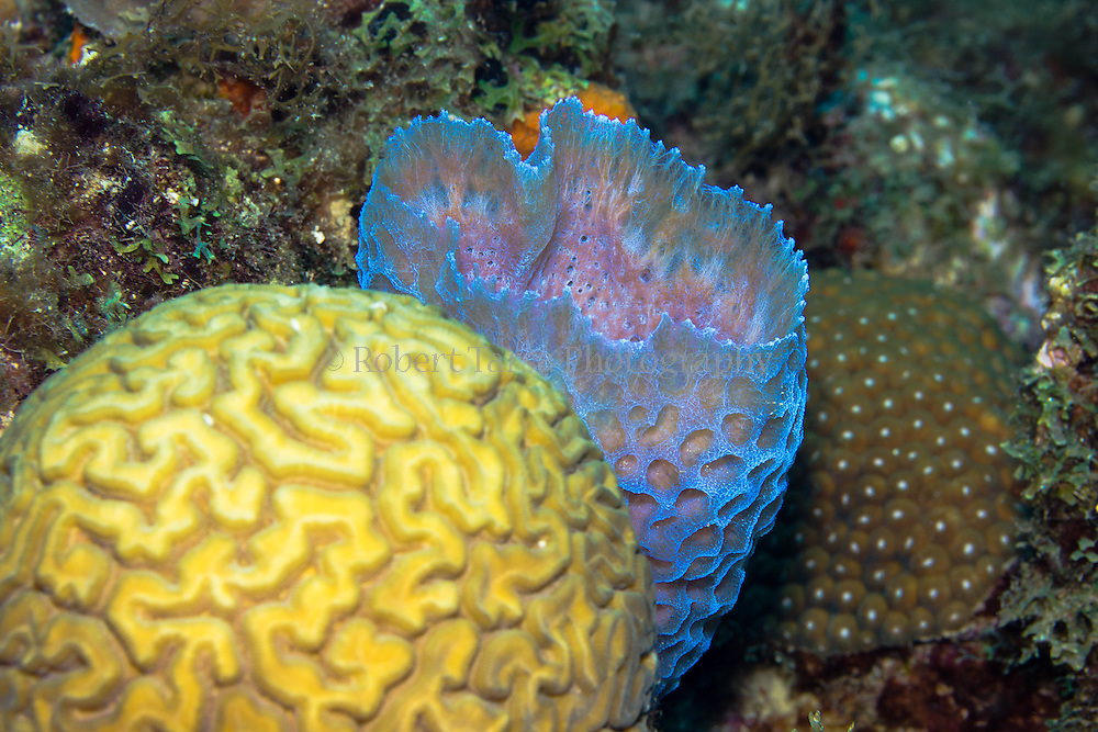 Azure vase sponge with Brain Coral in the foreground and Star Coral in the background.