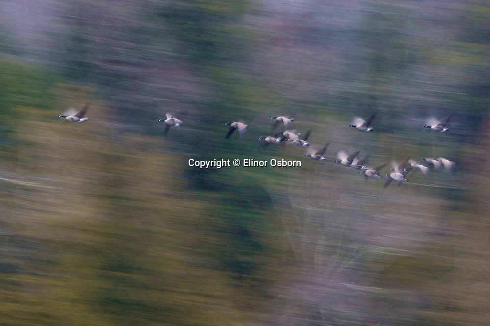 Canada Geese on migration, abstract