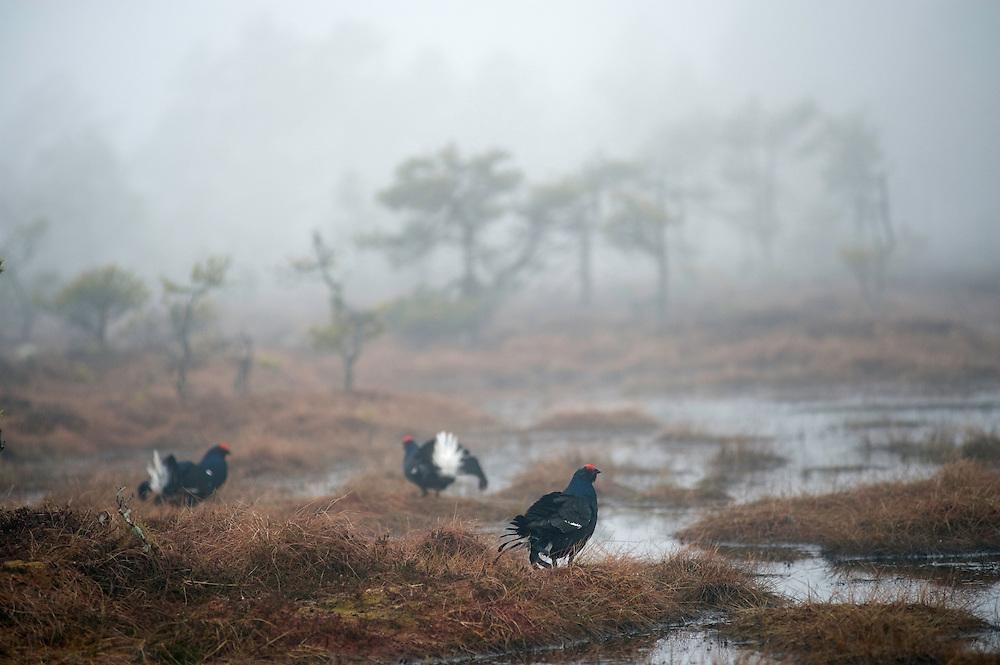 09.04.2009.Black Grouse (Tetrao tetrix) displaying on a bog. Lekking behaviour. Courting. Foggy morning..Bergslagen, Sweden.